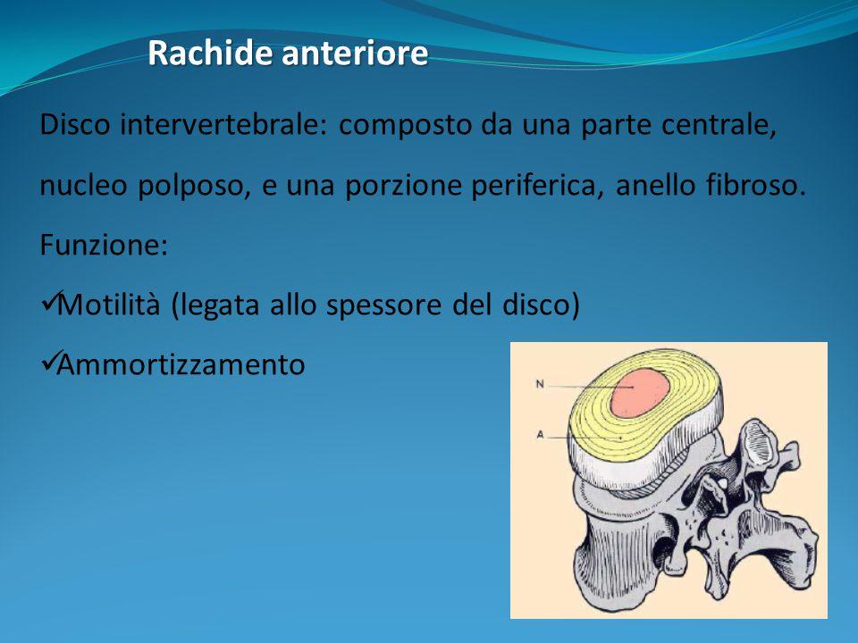 Rachide anteriore Disco intervertebrale: composto da una parte centrale, nucleo polposo, e una porzione periferica, anello fibroso. Funzione: Motilità