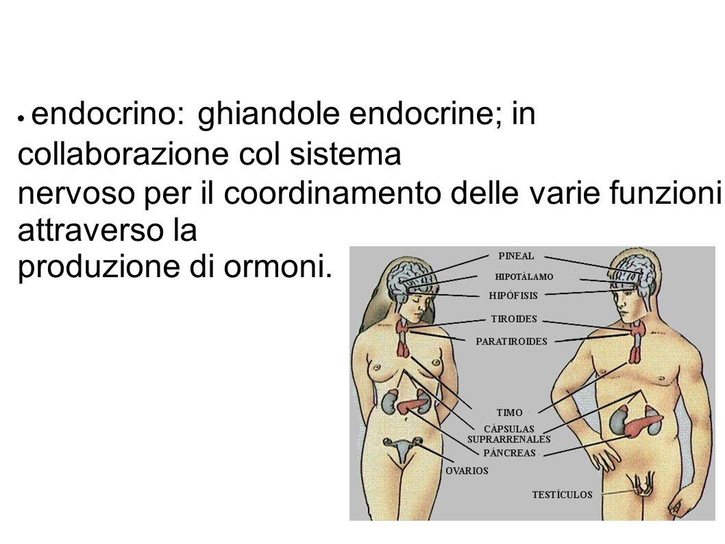  endocrino: ghiandole endocrine; in collaborazione col sistema nervoso per il coordinamento delle varie funzioni attraverso la produzione di ormoni.