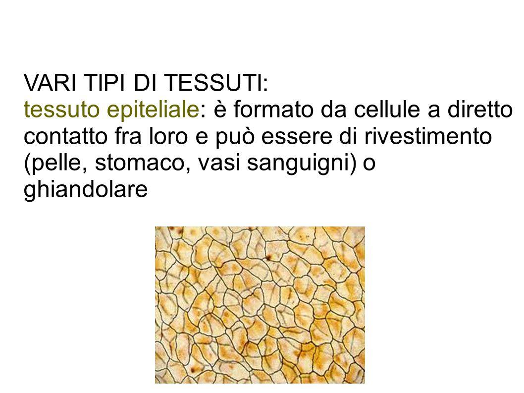VARI TIPI DI TESSUTI: tessuto epiteliale: è formato da cellule a diretto contatto fra loro e può essere di rivestimento (pelle, stomaco, vasi sanguign