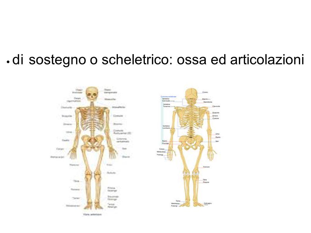  di sostegno o scheletrico: ossa ed articolazioni