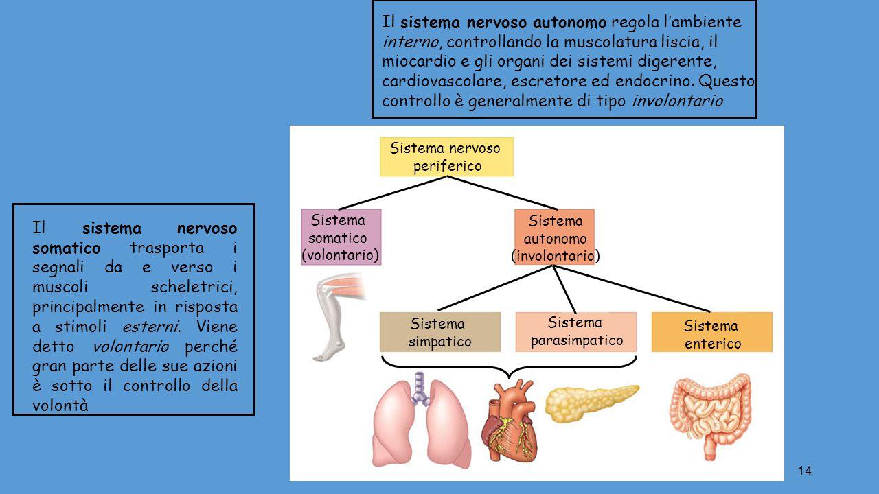 14 Sistema nervoso periferico Sistema somatico (volontario) Sistema autonomo (involontario) Sistema simpatico Sistema parasimpatico Sistema enterico I