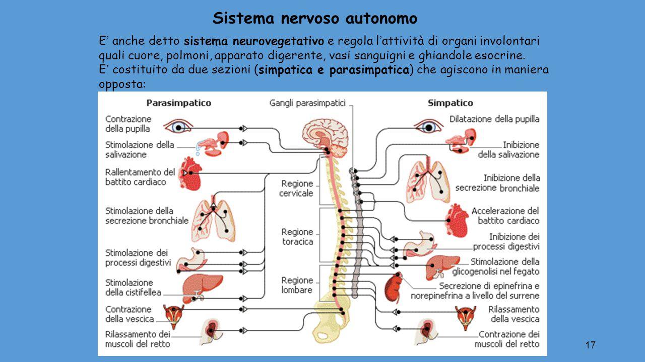 17 E' anche detto sistema neurovegetativo e regola l'attività di organi involontari quali cuore, polmoni, apparato digerente, vasi sanguigni e ghiando
