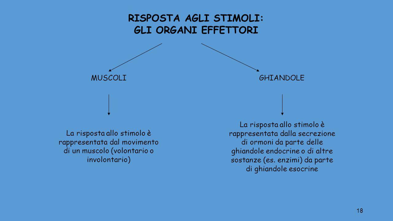 18 RISPOSTA AGLI STIMOLI: GLI ORGANI EFFETTORI MUSCOLIGHIANDOLE La risposta allo stimolo è rappresentata dal movimento di un muscolo (volontario o inv