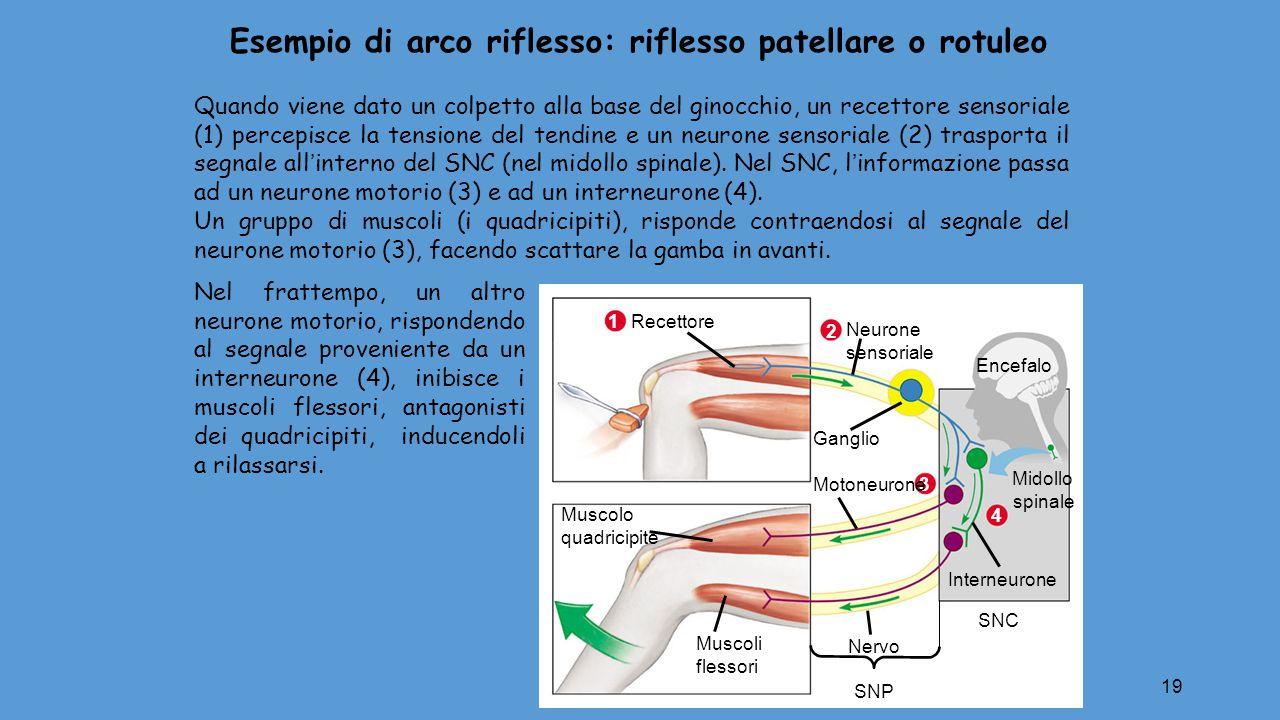 19 Muscolo quadricipite Muscoli flessori Encefalo Midollo spinale Nervo SNP Ganglio SNC Interneurone 4 2 Neurone sensoriale 3 Motoneurone 1 Recettore