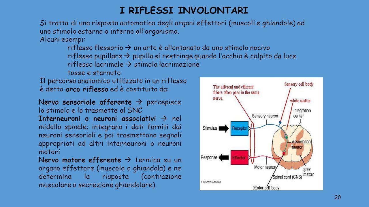 20 I RIFLESSI INVOLONTARI Si tratta di una risposta automatica degli organi effettori (muscoli e ghiandole) ad uno stimolo esterno o interno all'organ