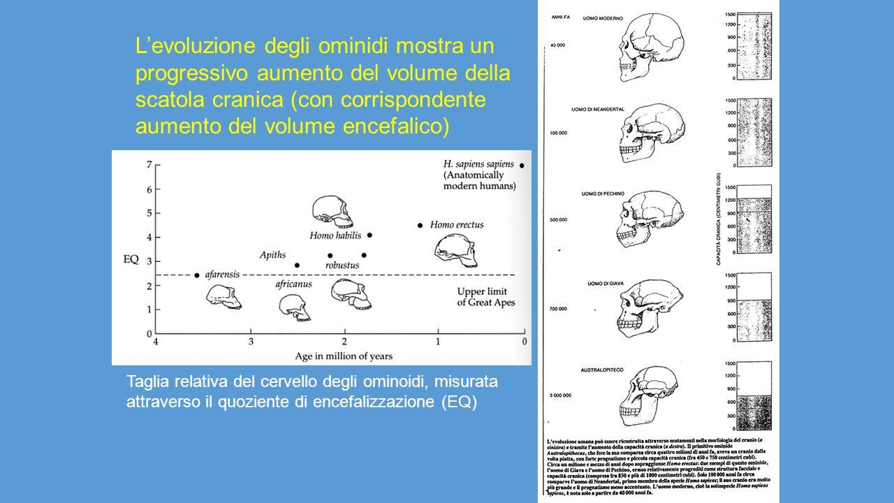 L'evoluzione degli ominidi mostra un progressivo aumento del volume della scatola cranica (con corrispondente aumento del volume encefalico) Taglia re