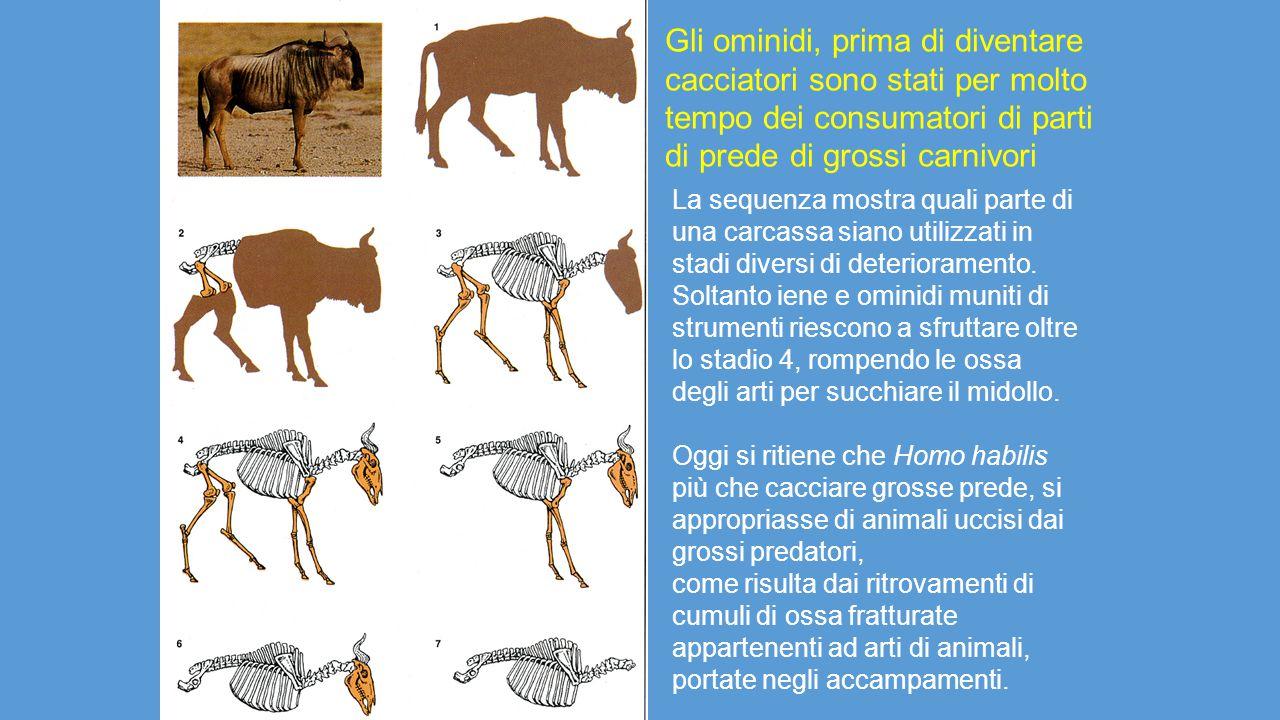 Gli ominidi, prima di diventare cacciatori sono stati per molto tempo dei consumatori di parti di prede di grossi carnivori La sequenza mostra quali p