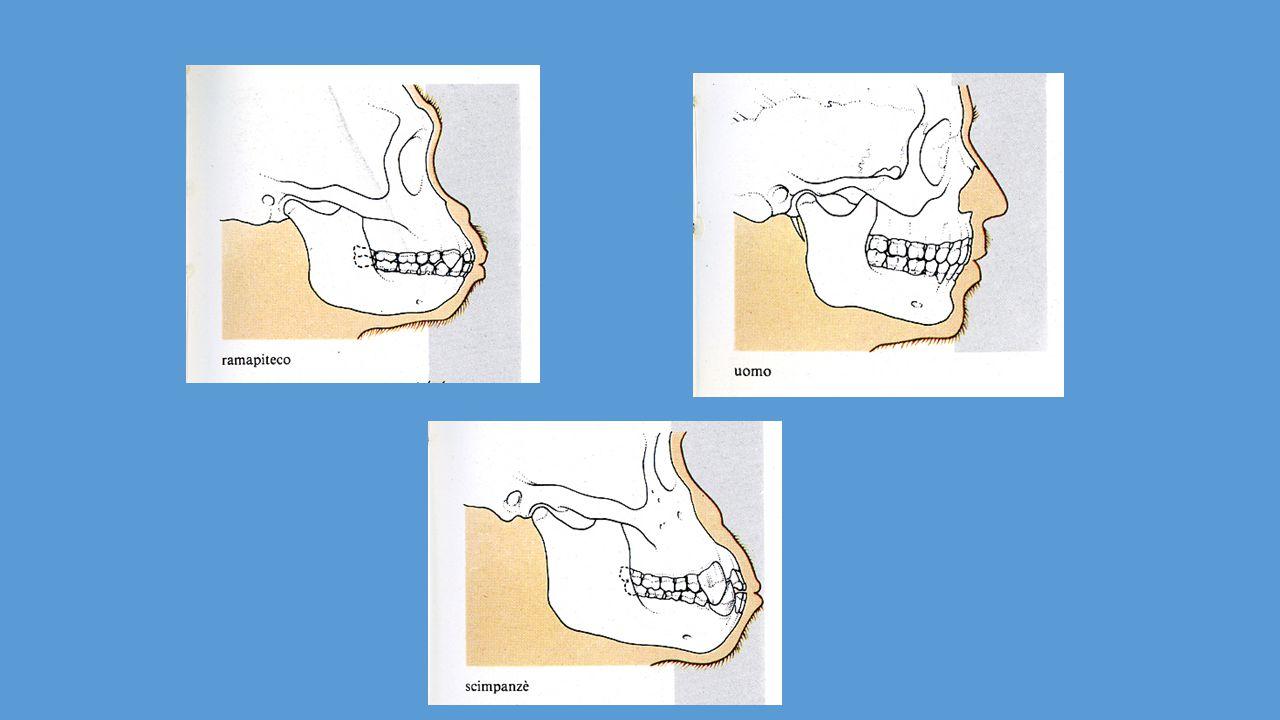 17 E' anche detto sistema neurovegetativo e regola l'attività di organi involontari quali cuore, polmoni, apparato digerente, vasi sanguigni e ghiandole esocrine.