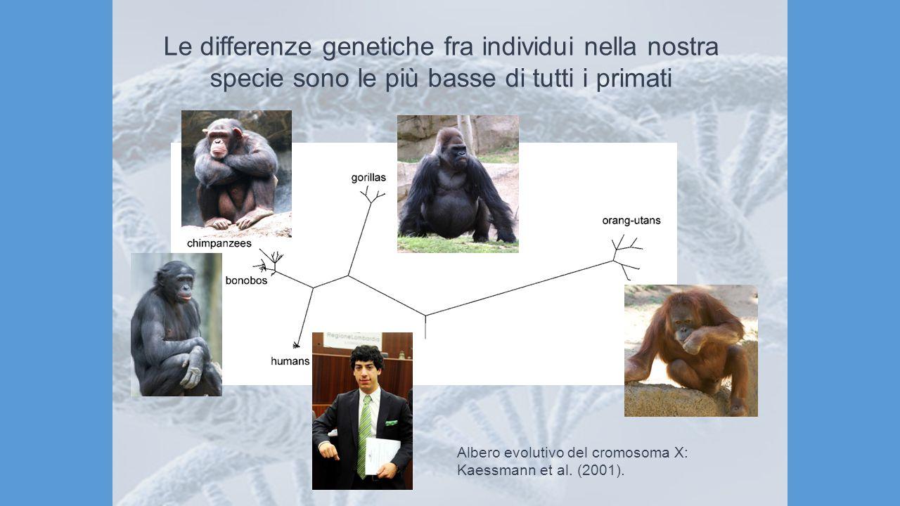 Albero evolutivo del cromosoma X: Kaessmann et al. (2001). Le differenze genetiche fra individui nella nostra specie sono le più basse di tutti i prim
