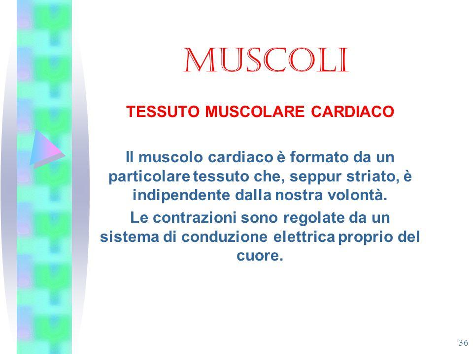 MUSCOLI TESSUTO MUSCOLARE CARDIACO Il muscolo cardiaco è formato da un particolare tessuto che, seppur striato, è indipendente dalla nostra volontà. L