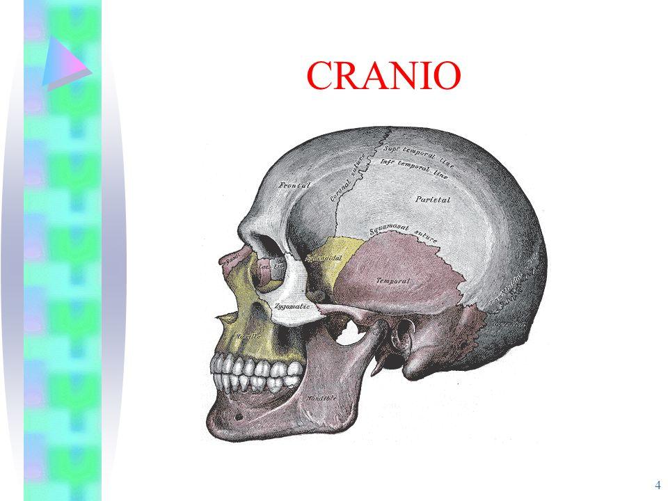 FRATTURA DEL BACINO 25 È estremamente pericolosa perché si trova in una zona riccamente vascolarizzata.