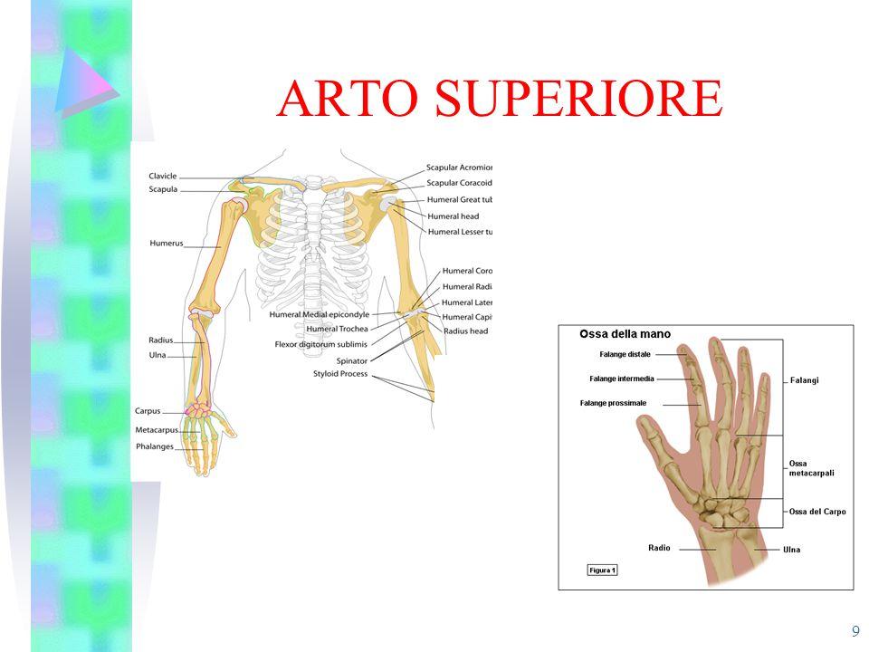 ARTICOLAZIONI Rappresentano il punto di unione tra capi ossei.
