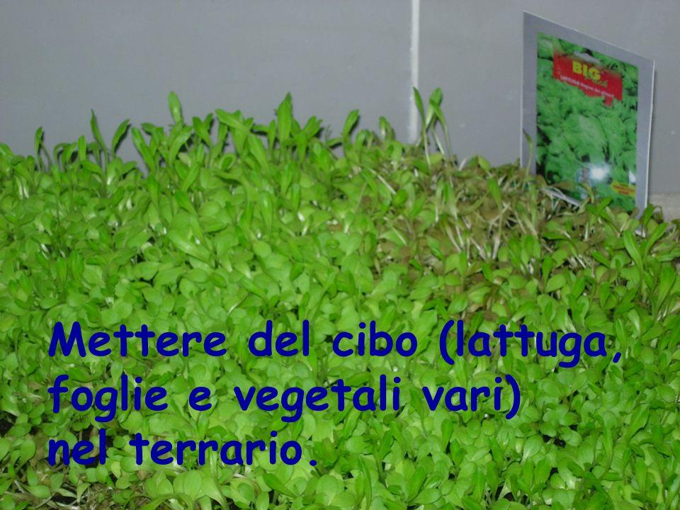 Mettere del cibo (lattuga, foglie e vegetali vari) nel terrario.