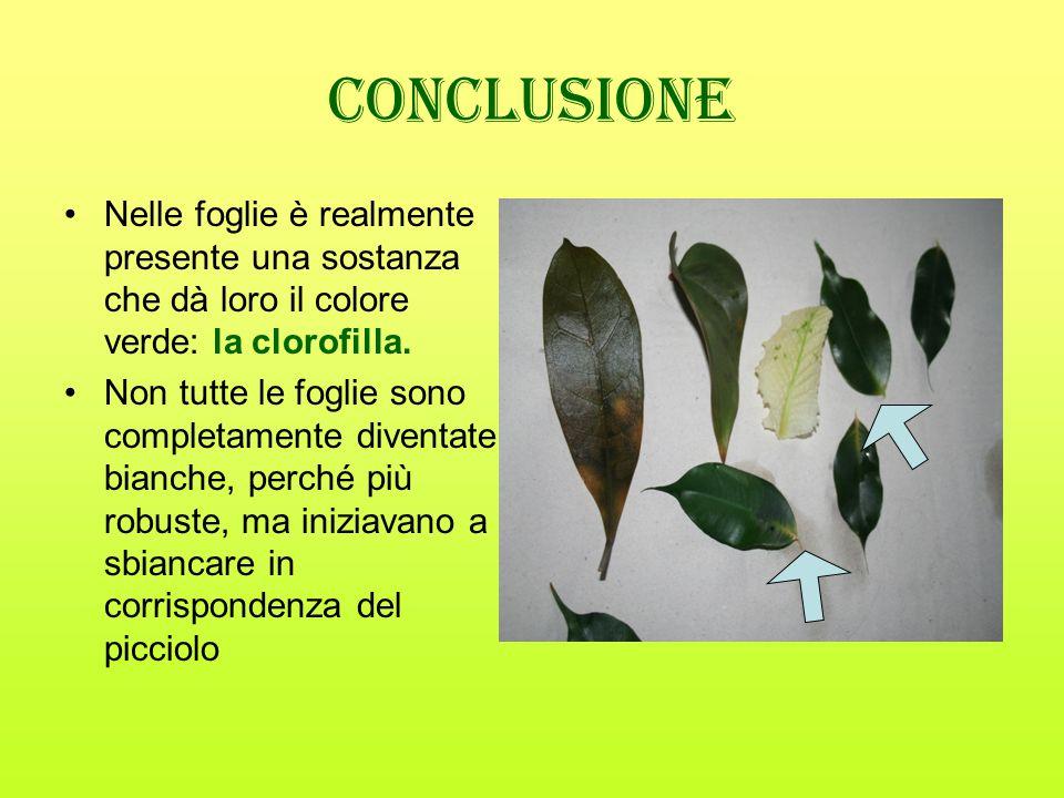 Conclusione Nelle foglie è realmente presente una sostanza che dà loro il colore verde: la clorofilla. Non tutte le foglie sono completamente diventat
