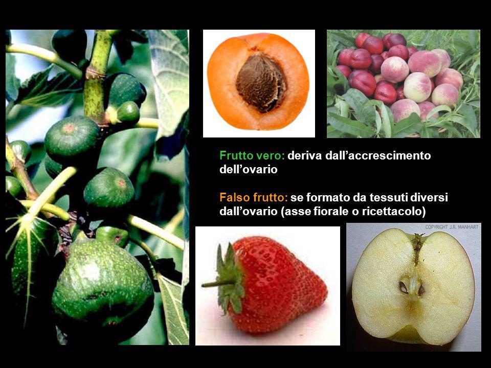 Frutto vero: deriva dall'accrescimento dell'ovario Falso frutto: se formato da tessuti diversi dall'ovario (asse fiorale o ricettacolo)