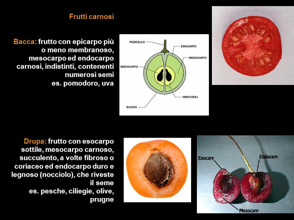 Frutti carnosi Bacca: frutto con epicarpo più o meno membranoso, mesocarpo ed endocarpo carnosi, indistinti, contenenti numerosi semi es.