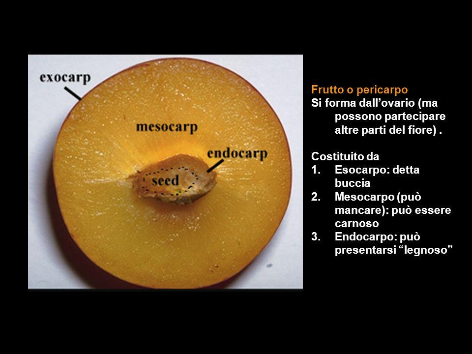 Frutto o pericarpo Si forma dall'ovario (ma possono partecipare altre parti del fiore).