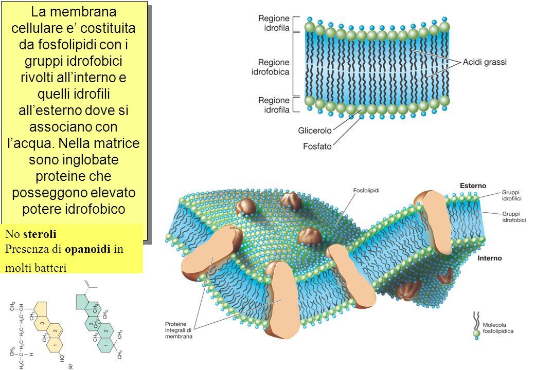 La membrana cellulare e' costituita da fosfolipidi con i gruppi idrofobici rivolti all'interno e quelli idrofili all'esterno dove si associano con l'acqua.