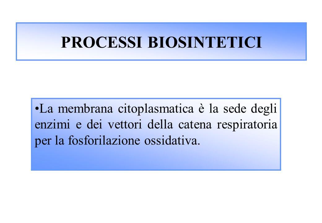 PROCESSI BIOSINTETICI La membrana citoplasmatica è la sede degli enzimi e dei vettori della catena respiratoria per la fosforilazione ossidativa.