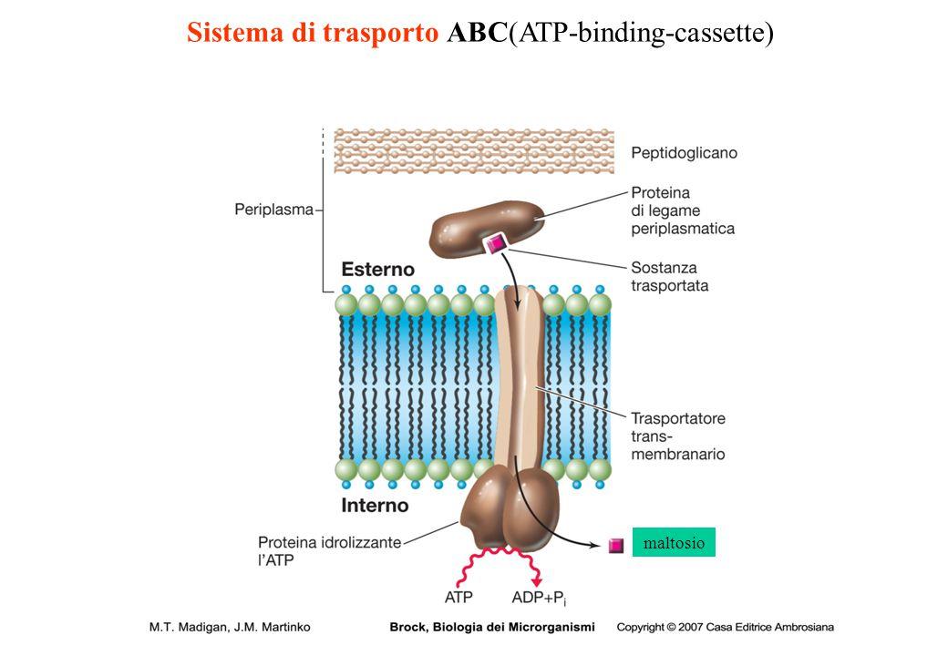 Sistema di trasporto ABC(ATP-binding-cassette) maltosio