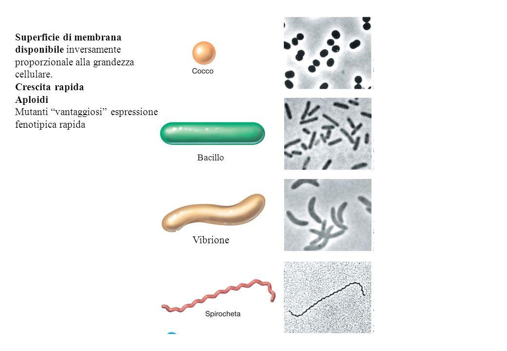 Bacillo Superficie di membrana disponibile inversamente proporzionale alla grandezza cellulare.
