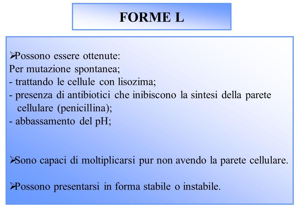FORME L  Possono essere ottenute: Per mutazione spontanea; - trattando le cellule con lisozima; - presenza di antibiotici che inibiscono la sintesi della parete cellulare (penicillina); - abbassamento del pH;  Sono capaci di moltiplicarsi pur non avendo la parete cellulare.