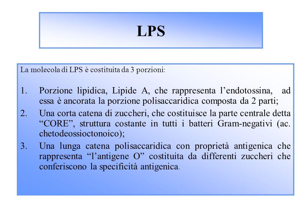 LPS La molecola di LPS è costituita da 3 porzioni : 1.Porzione lipidica, Lipide A, che rappresenta l'endotossina, ad essa è ancorata la porzione polisaccaridica composta da 2 parti; 2.Una corta catena di zuccheri, che costituisce la parte centrale detta CORE , struttura costante in tutti i batteri Gram-negativi (ac.