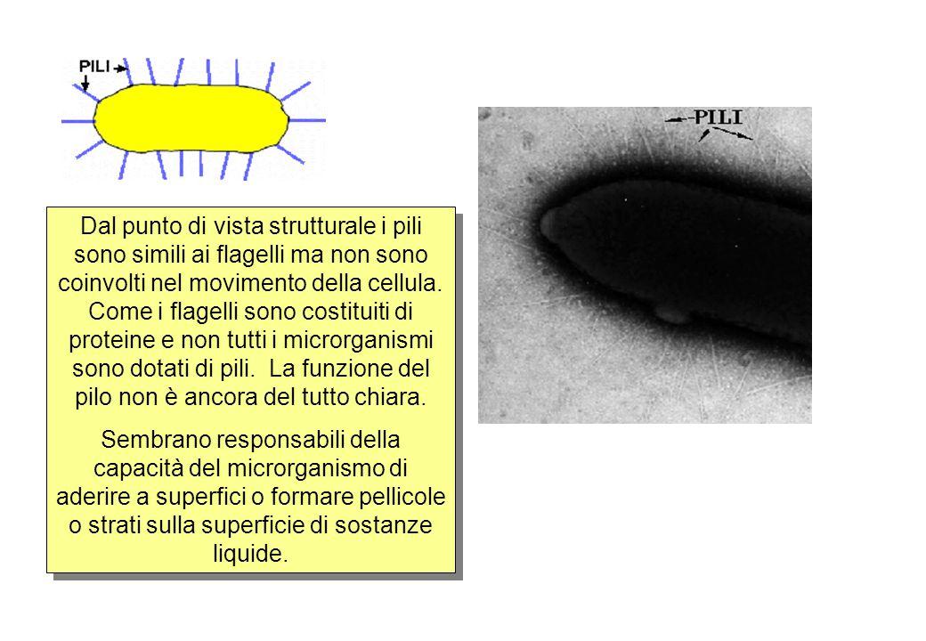 Dal punto di vista strutturale i pili sono simili ai flagelli ma non sono coinvolti nel movimento della cellula.