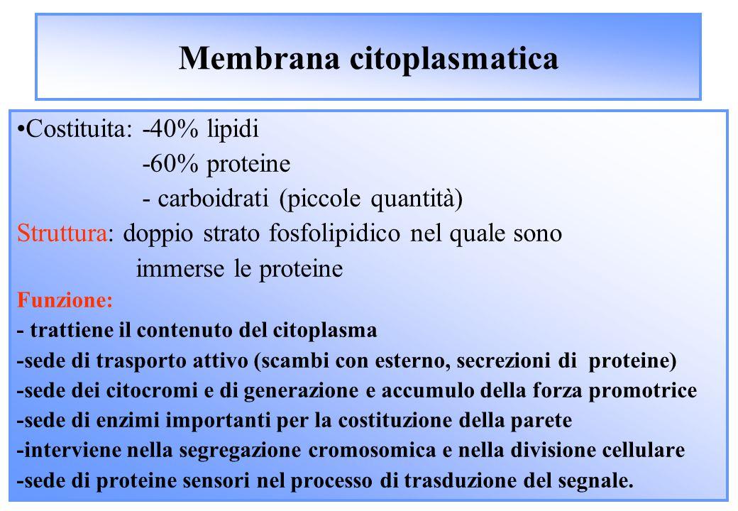 Membrana citoplasmatica Costituita: -40% lipidi -60% proteine - carboidrati (piccole quantità) Struttura: doppio strato fosfolipidico nel quale sono immerse le proteine Funzione: - trattiene il contenuto del citoplasma -sede di trasporto attivo (scambi con esterno, secrezioni di proteine) -sede dei citocromi e di generazione e accumulo della forza promotrice -sede di enzimi importanti per la costituzione della parete -interviene nella segregazione cromosomica e nella divisione cellulare -sede di proteine sensori nel processo di trasduzione del segnale.
