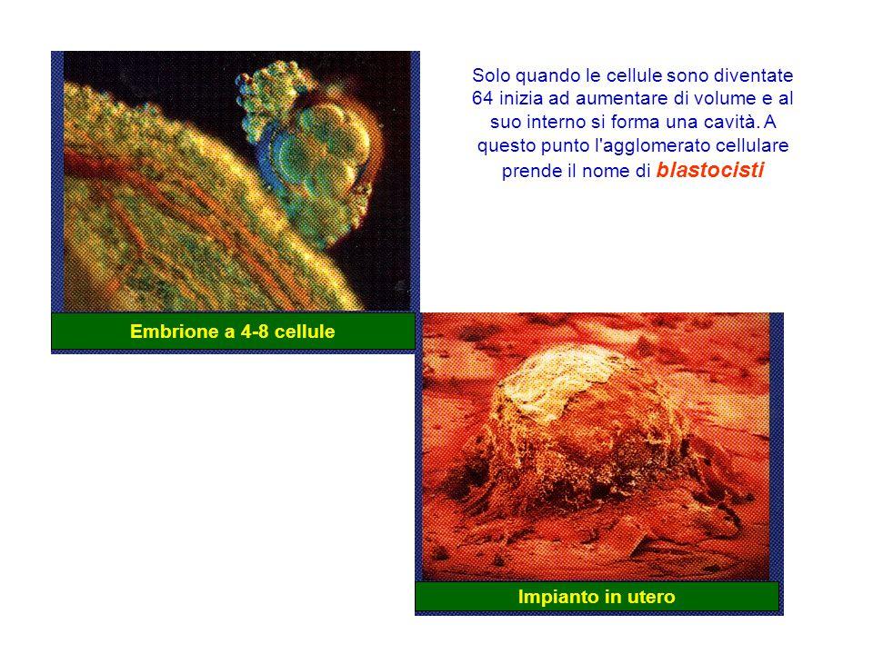 Embrione a 4-8 cellule Impianto in utero Solo quando le cellule sono diventate 64 inizia ad aumentare di volume e al suo interno si forma una cavità.