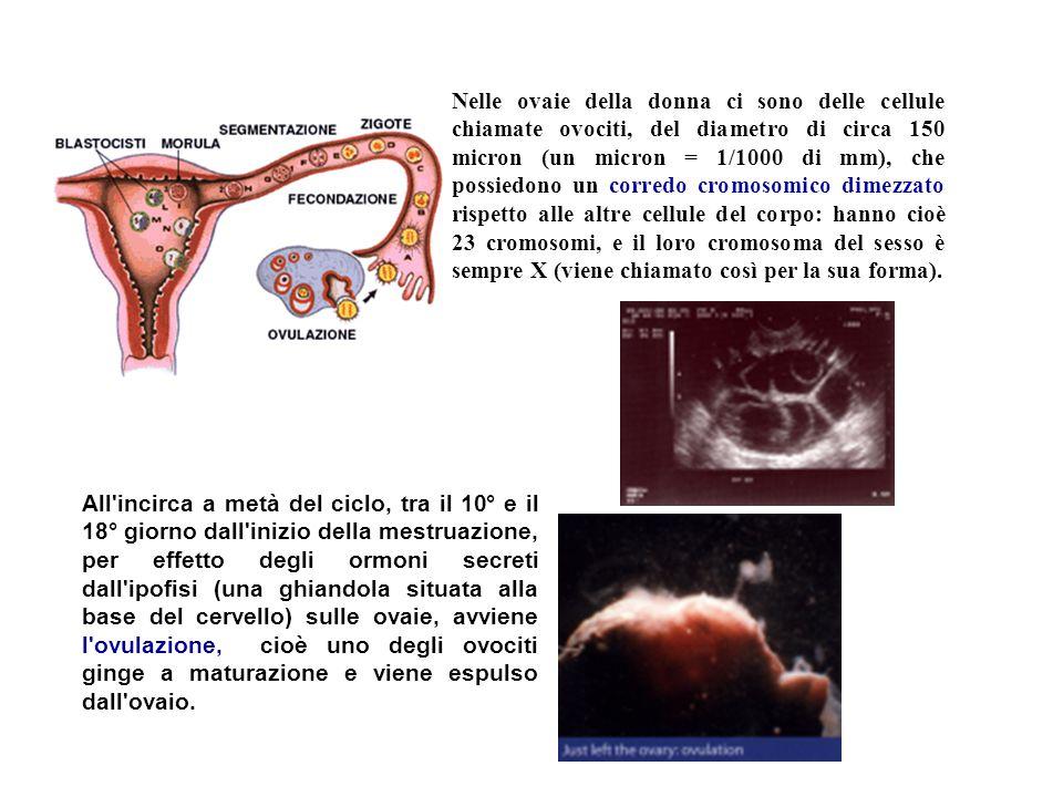 Nelle ovaie della donna ci sono delle cellule chiamate ovociti, del diametro di circa 150 micron (un micron = 1/1000 di mm), che possiedono un corredo cromosomico dimezzato rispetto alle altre cellule del corpo: hanno cioè 23 cromosomi, e il loro cromosoma del sesso è sempre X (viene chiamato così per la sua forma).