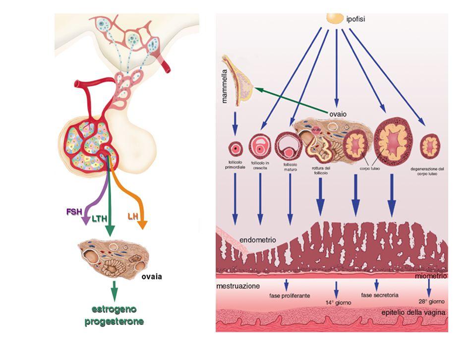  L ovulazione avviene approssimativamente al quattordicesimo giorno del ciclo (la durata della fase follicolare che precede l ovulazione può variare)  L ovulo viene espulso dall ovaio e aspirato dalle frange del padiglione delle tube.