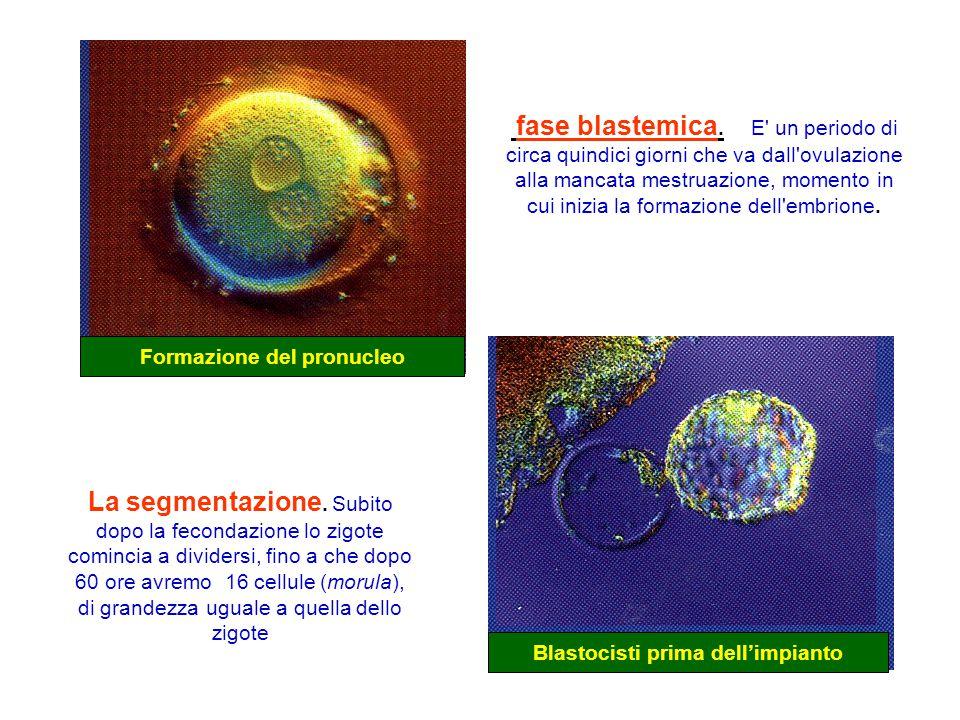 Formazione del pronucleo Blastocisti prima dell'impianto La segmentazione. Subito dopo la fecondazione lo zigote comincia a dividersi, fino a che dopo