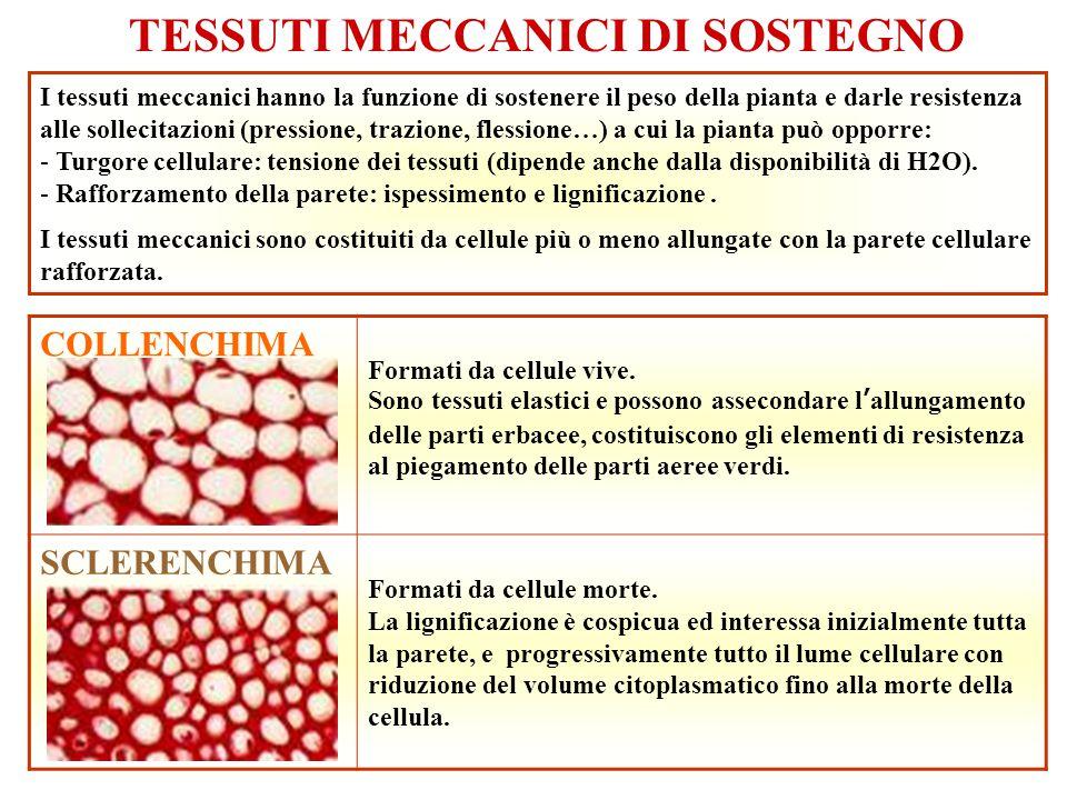 TESSUTI MECCANICI DI SOSTEGNO I tessuti meccanici hanno la funzione di sostenere il peso della pianta e darle resistenza alle sollecitazioni (pression