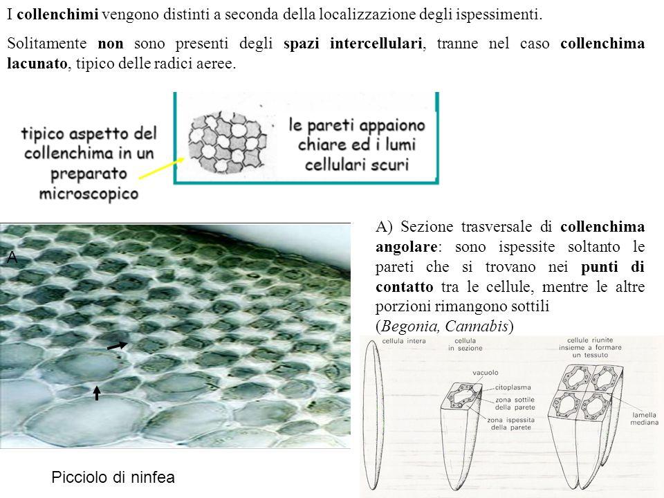 A) Sezione trasversale di collenchima angolare: sono ispessite soltanto le pareti che si trovano nei punti di contatto tra le cellule, mentre le altre
