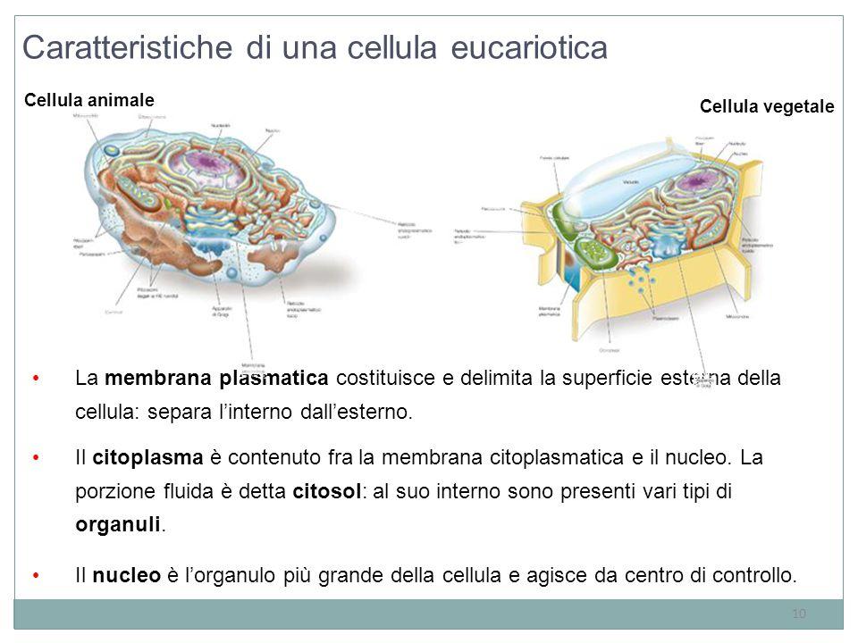 10 La membrana plasmatica costituisce e delimita la superficie esterna della cellula: separa l'interno dall'esterno. Il citoplasma è contenuto fra la
