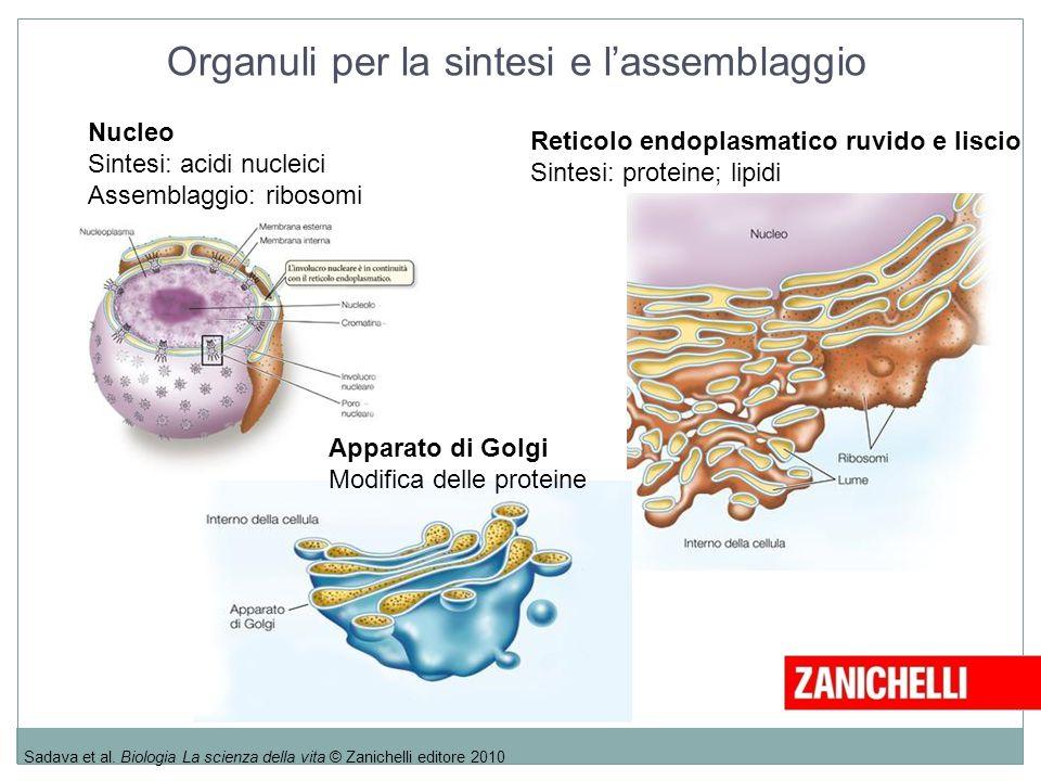 Sadava et al. Biologia La scienza della vita © Zanichelli editore 2010 Nucleo Sintesi: acidi nucleici Assemblaggio: ribosomi Apparato di Golgi Modific