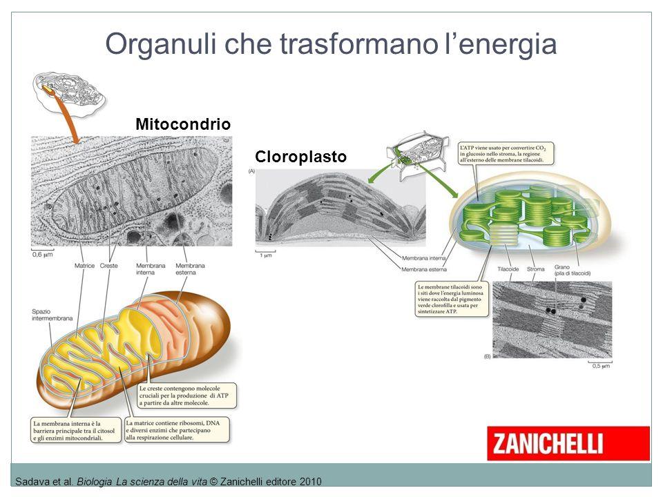Organuli che trasformano l'energia Sadava et al. Biologia La scienza della vita © Zanichelli editore 2010 Mitocondrio Cloroplasto