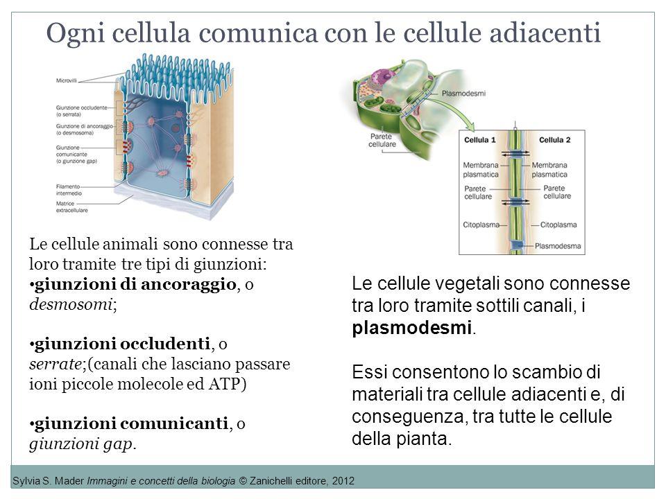 Ogni cellula comunica con le cellule adiacenti Sylvia S. Mader Immagini e concetti della biologia © Zanichelli editore, 2012 Le cellule animali sono c