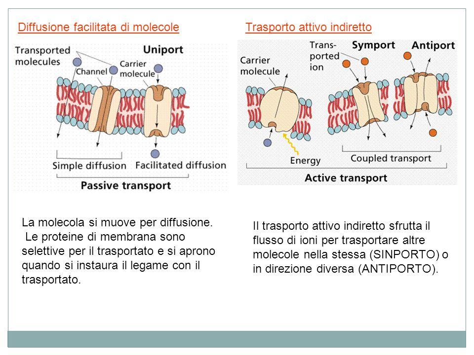 Diffusione facilitata di molecoleTrasporto attivo indiretto Il trasporto attivo indiretto sfrutta il flusso di ioni per trasportare altre molecole nel