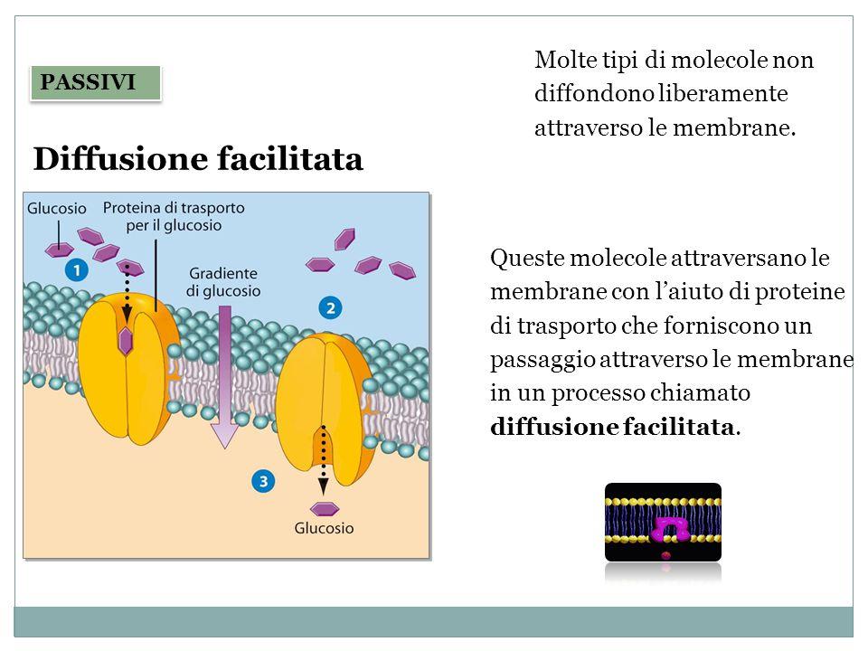 Diffusione facilitata PASSIVI Queste molecole attraversano le membrane con l'aiuto di proteine di trasporto che forniscono un passaggio attraverso le
