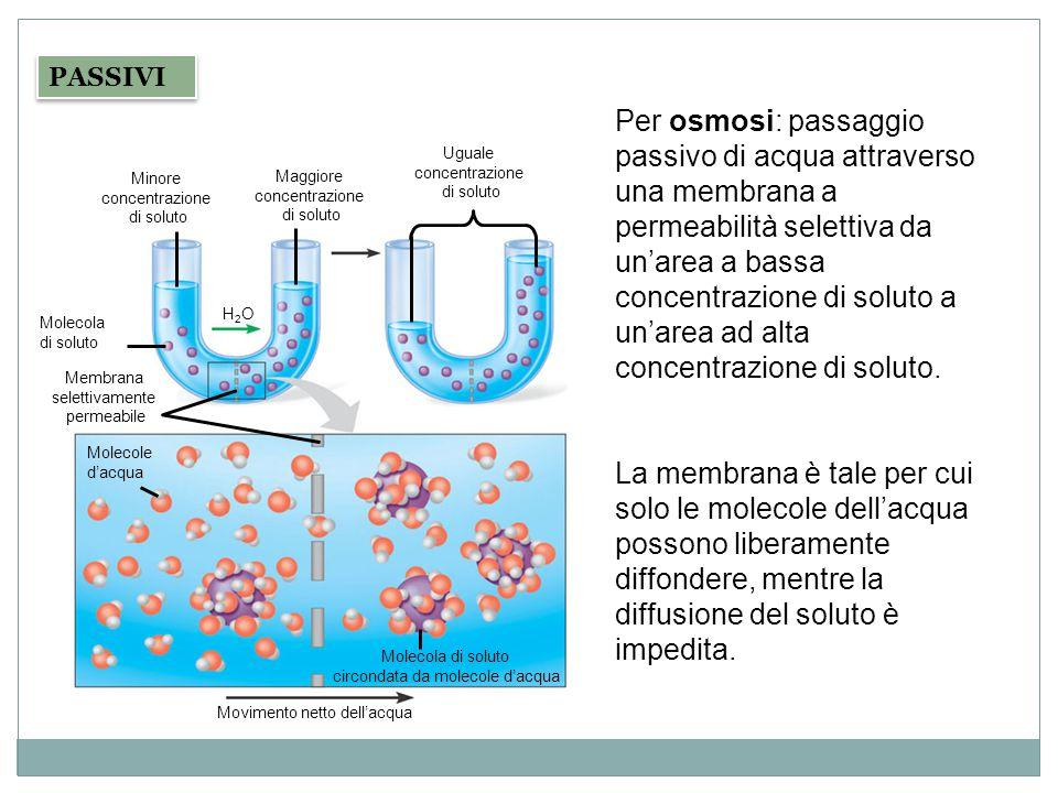 PASSIVI Per osmosi: passaggio passivo di acqua attraverso una membrana a permeabilità selettiva da un'area a bassa concentrazione di soluto a un'area