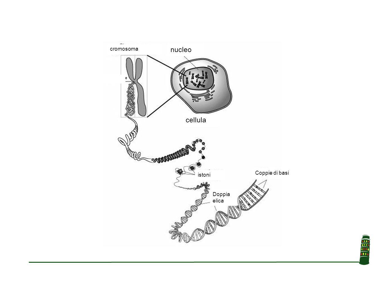 SNPs Variazioni di sequenza comuni Possono avere un significato funzionale diretto –Aumento dell'attività della proteina –Diminuzione dell'attività della proteina Possono essere semplicemente associati ad altre variazioni di sequenza con significato funzionale Possono essere silenti