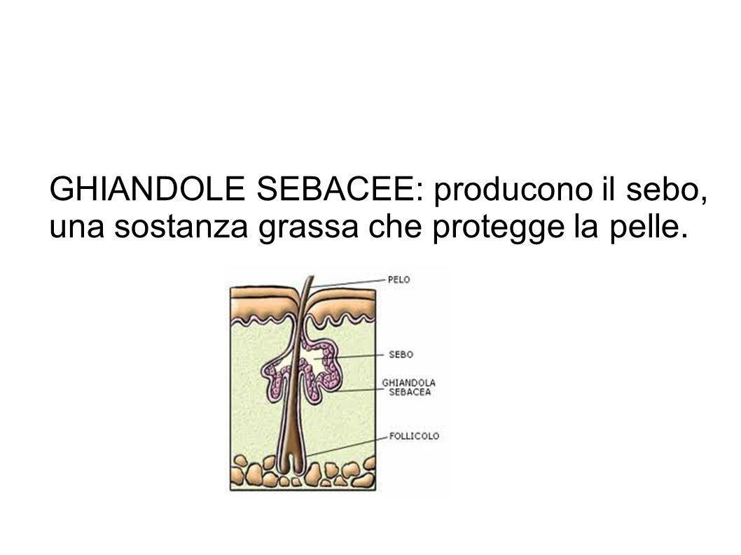 GHIANDOLE SEBACEE: producono il sebo, una sostanza grassa che protegge la pelle.