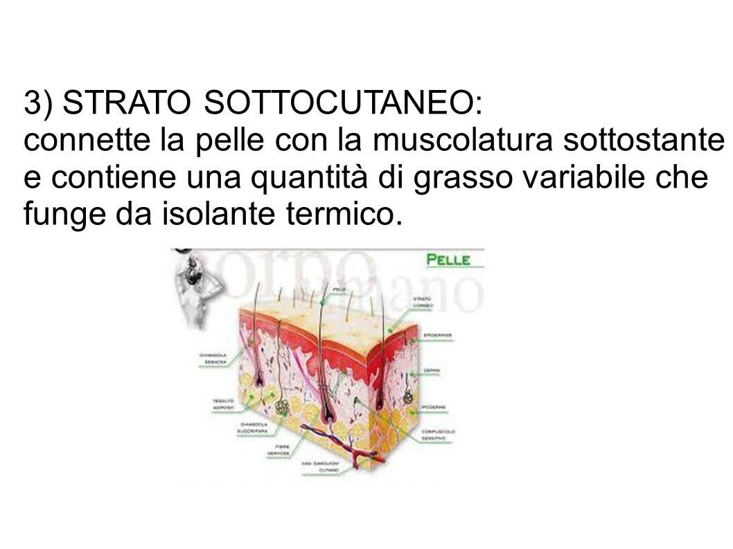 3) STRATO SOTTOCUTANEO: connette la pelle con la muscolatura sottostante e contiene una quantità di grasso variabile che funge da isolante termico.