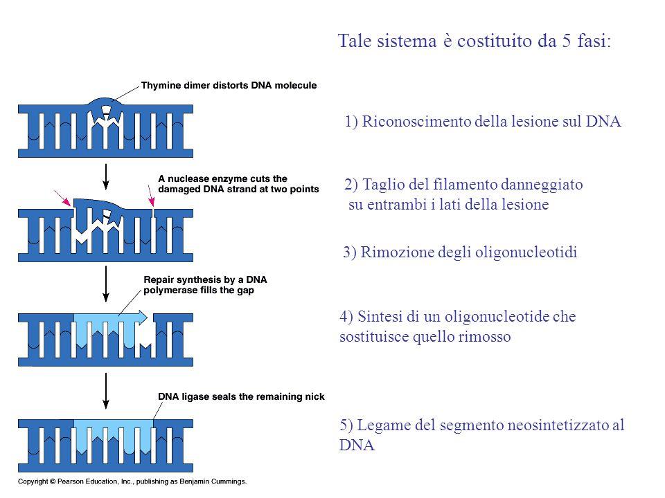 1) Riconoscimento della lesione sul DNA Tale sistema è costituito da 5 fasi: 2) Taglio del filamento danneggiato su entrambi i lati della lesione 3) R