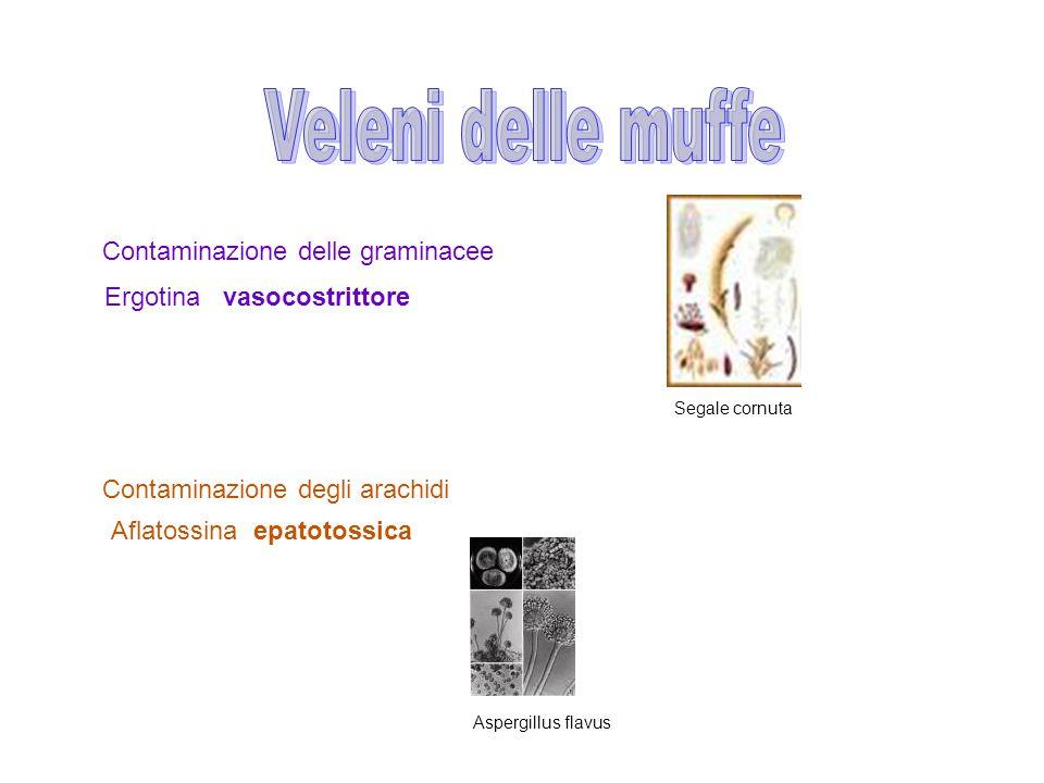 Contaminazione delle graminacee Ergotina vasocostrittore Contaminazione degli arachidi Aflatossina epatotossica Aspergillus flavus Segale cornuta