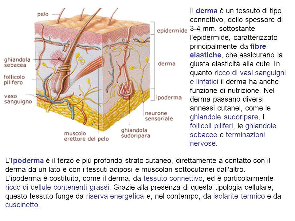 Il derma è un tessuto di tipo connettivo, dello spessore di 3-4 mm, sottostante l epidermide, caratterizzato principalmente da fibre elastiche, che assicurano la giusta elasticità alla cute.