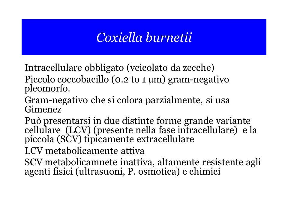 Coxiella burnetii Intracellulare obbligato (veicolato da zecche) Piccolo coccobacillo (0.2 to 1  m) gram-negativo pleomorfo.