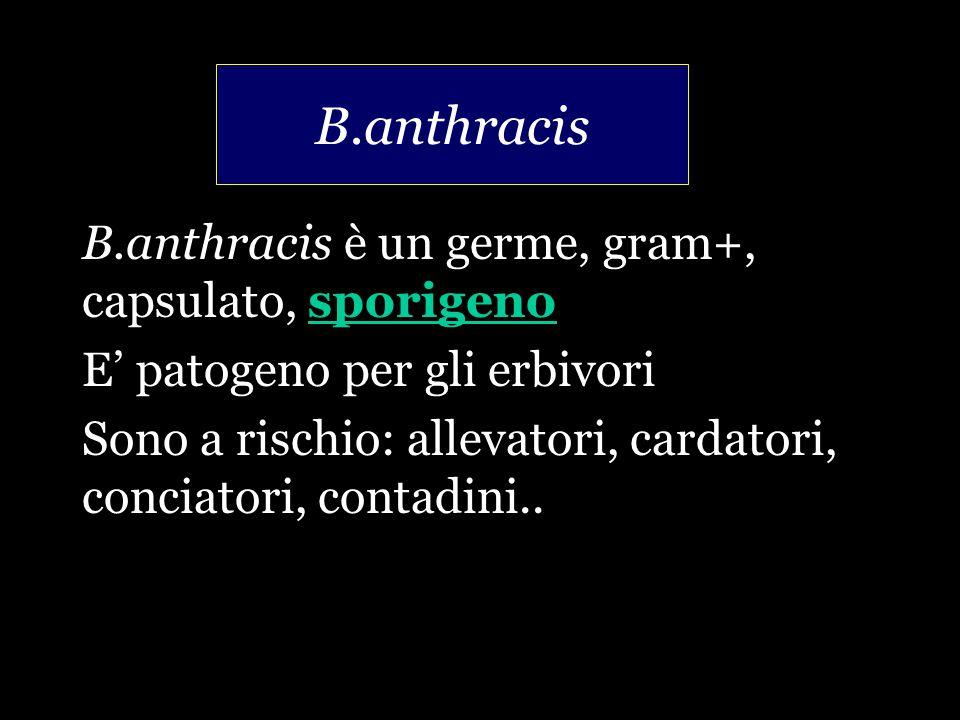 B.anthracis B.anthracis è un germe, gram+, capsulato, sporigeno E' patogeno per gli erbivori Sono a rischio: allevatori, cardatori, conciatori, contadini..